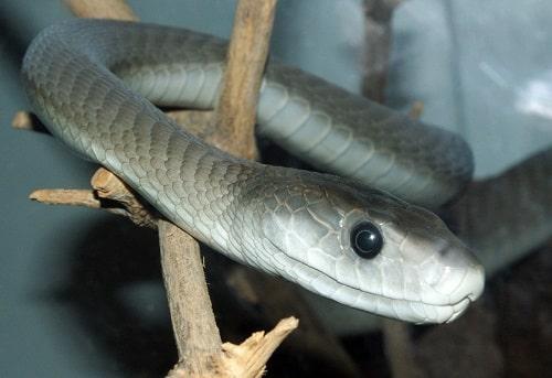 rắn mamba