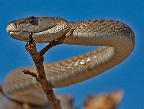 rắn độc mamba