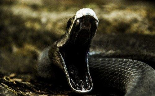 rắn đen mamba