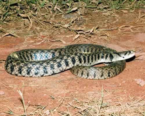 rắn giáo