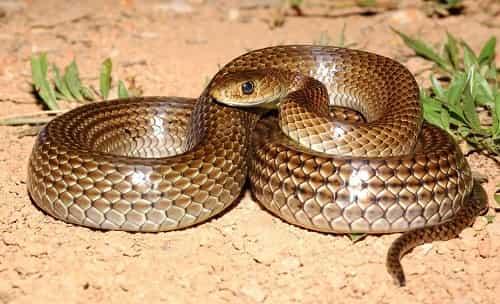 rắn ráo