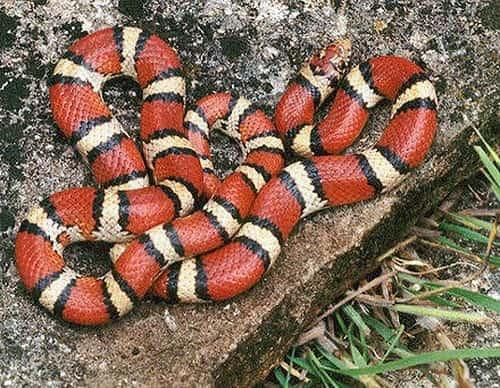 rắn san hô đỏ