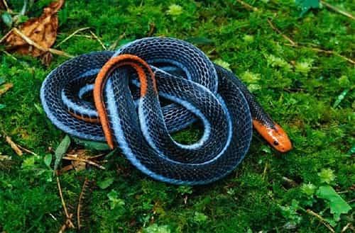rắn san hô xanh