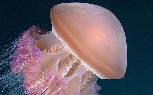 sứa sống ở đâu