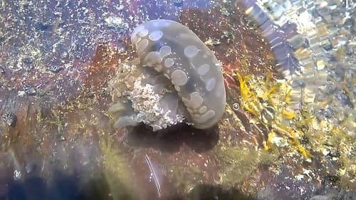 sứa cảnh nước ngọt