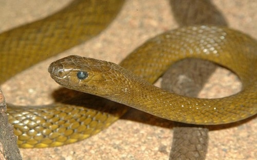rắn độc nhất việt nam