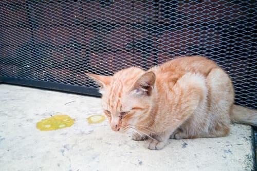 tẩy giun cho mèo bằng fugacar