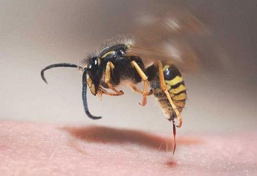 cách chữa ong vò vẽ đốt