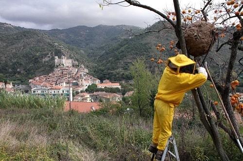 cách phá tổ ong mặt quỷ