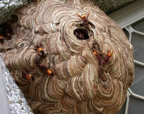 cách phá tổ ong vò vẽ