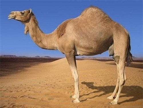 lạc đà sa mạc