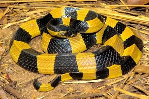 10 loài rắn độc nhất việt nam