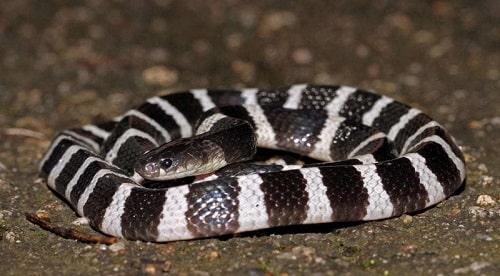 các loại rắn hổ ở việt nam