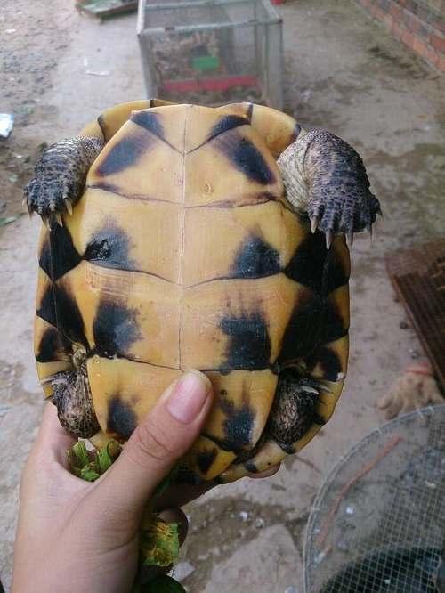rùa ba gờ giá bao nhiêu