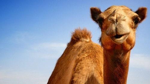 nuôi lạc đà alpaca