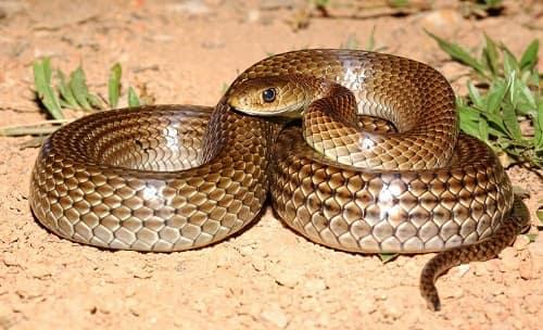 rắn không độc ở việt nam