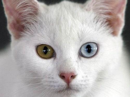 mèo khao manee