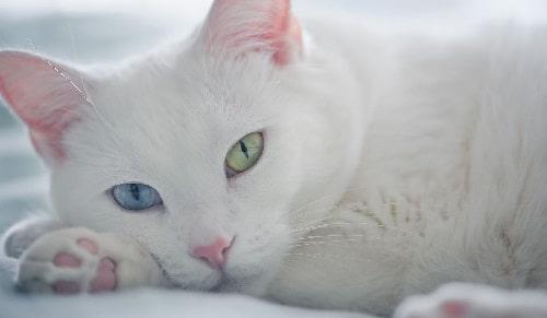 mèo trắng mắt xanh