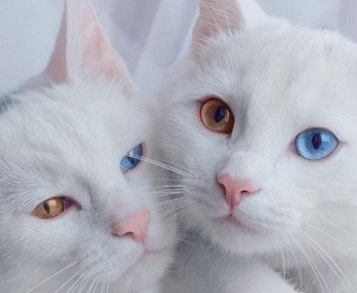mèo mắt 2 màu có tốt không