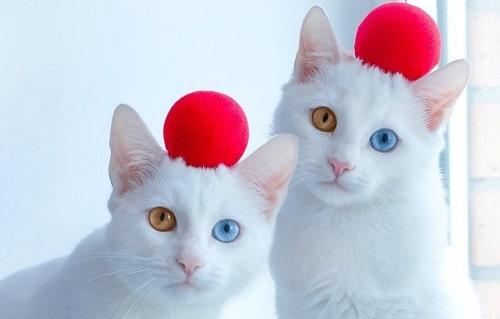 mèo lông trắng mắt xanh