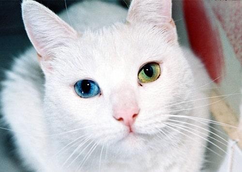 mèo mắt 2 màu