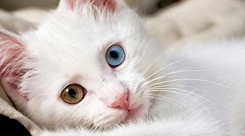 mèo mắt 2 màu giá bao nhiêu