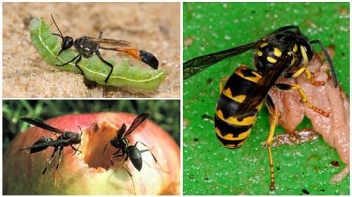 ong bắp cày ăn gì