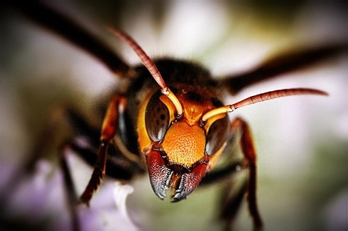 ong bắp cày khổng lồ