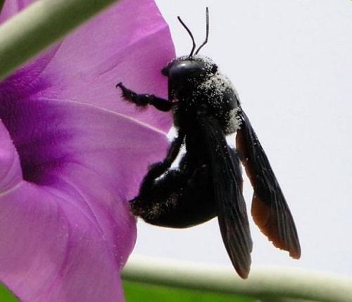ong bầu giá bao nhiêu