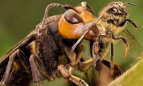 ong mặt quỷ ăn gì