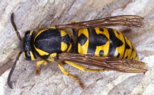 ong mặt quỷ giá bao nhiêu