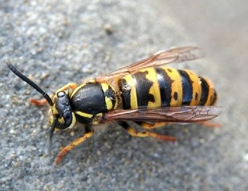 ong sát thủ