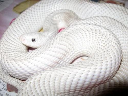 rắn trắng giá bao nhiêu