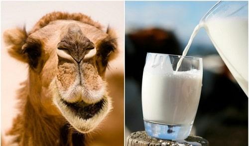 sữa lạc đà