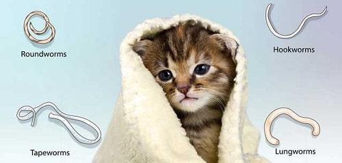 tẩy giun cho mèo tại nhà
