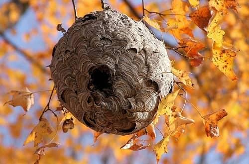 tổ ong mặt quỷ