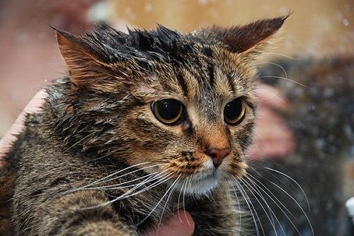 cách trị rận mèo trên người