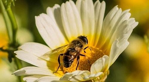 các loài ong cho mật