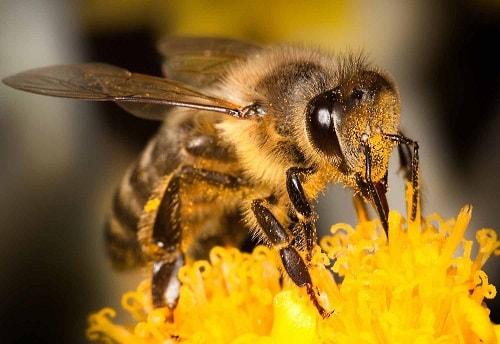 các loài ong mật trên thế giới