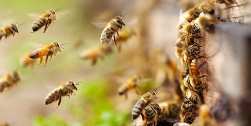 các loài ong ở việt nam