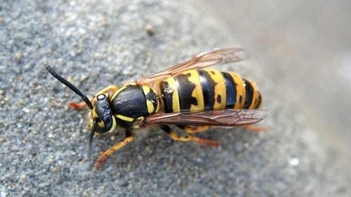 các loài ong thường gặp