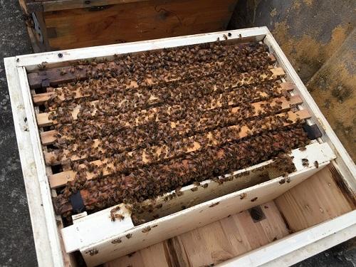 cách bắt ong ruồi về nuôi