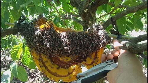 cách bắt ong ruồi