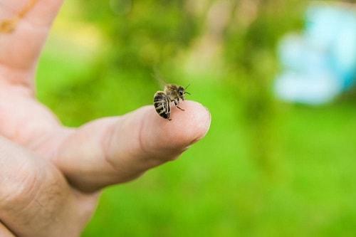 cách chữa ong đốt