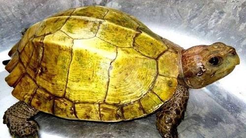 cách nhận biết rùa núi vàng