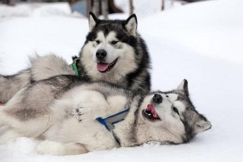 chó alaska trắng