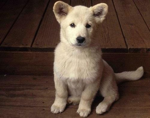 Chó Samoyed lai chó ta