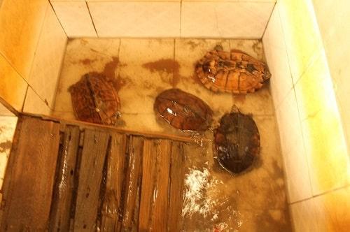 chuồng nuôi rùa câm
