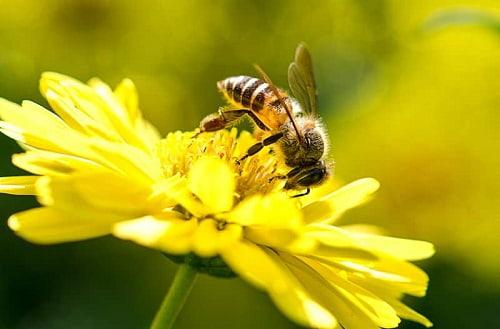 con ong ruồi