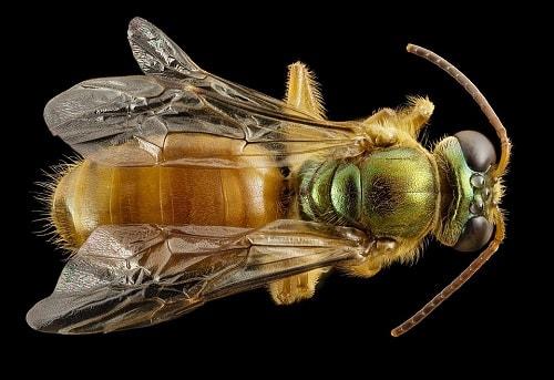 hình ảnh các loài ong độc